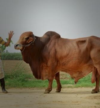 Bovine Breeding & Dairy Development (NPBBDD)