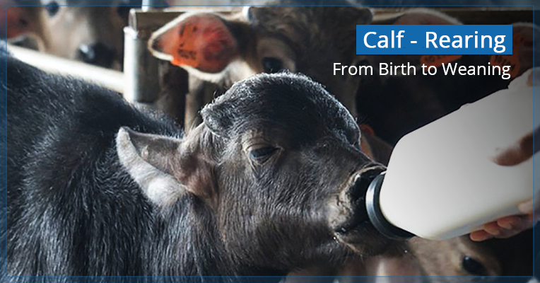Calf Rearing in India with Tips on Products Information Guide & Advice